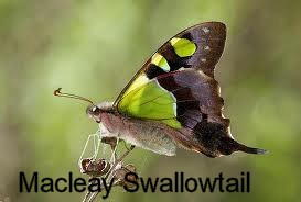 macleay swallowtail