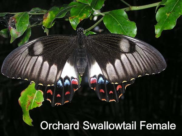 orchard swallowtail female