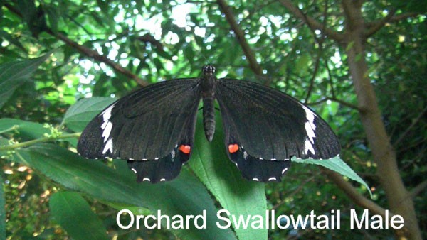 orchard swallowtail male